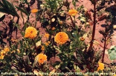 Ringelblumen und indisches Springkraut