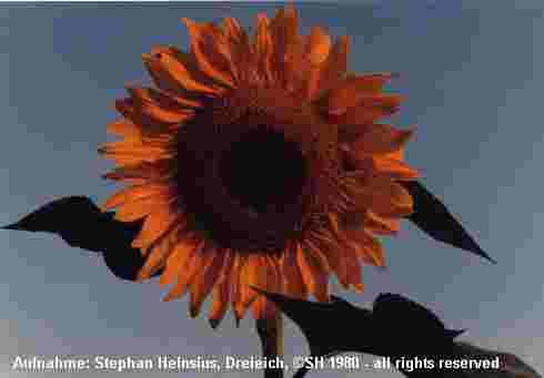 Sonnenblumenkreise