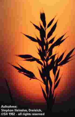Junigras