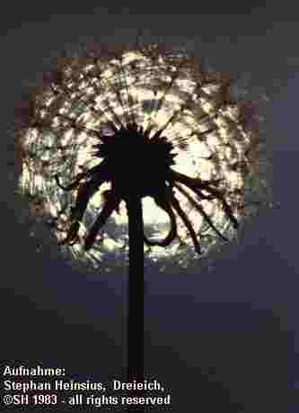 Pusteblume vor der Sonne