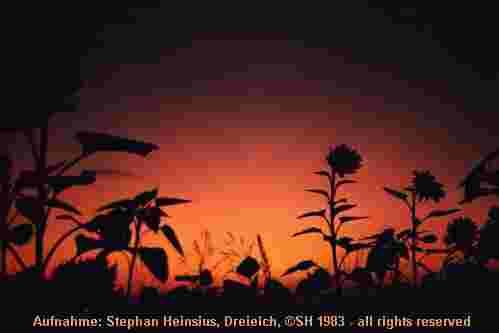Sonnenblumendämmerung
