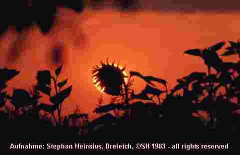Sonnenblumenuntergang