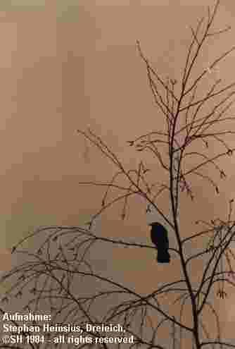 Vogel auf Birke