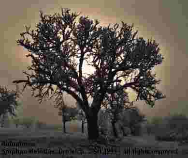 Alter Birnenbaum