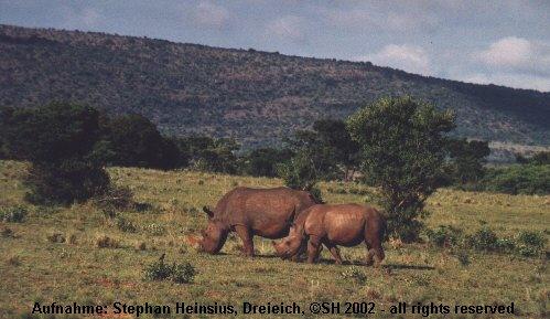 Rhinos in Entabeni